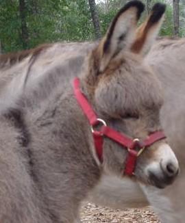 Best Friends Farm Miniature Donkeys