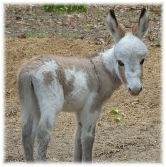 Miniature donkeys for sale  Gentle, loving, & perfect for children